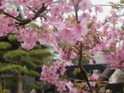 早春の長谷寺5