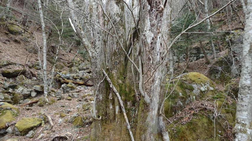 けっこう巨樹になる樹種のサワグルミ