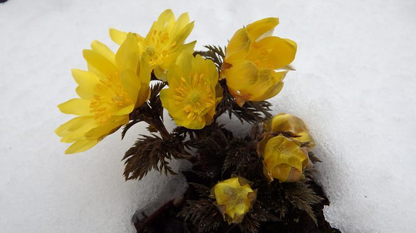 雪の間からフクジュソウの花が