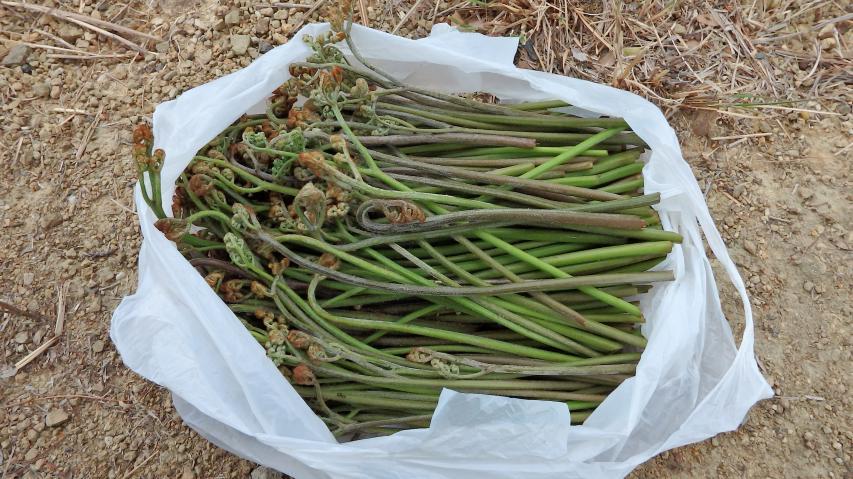 ワラビの収穫