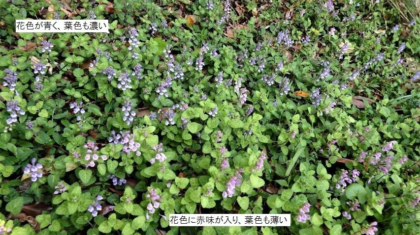 花の色違いのタツナミソウ