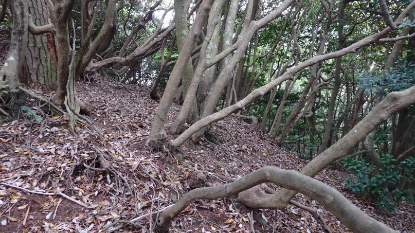 シャクナゲの古木が多い