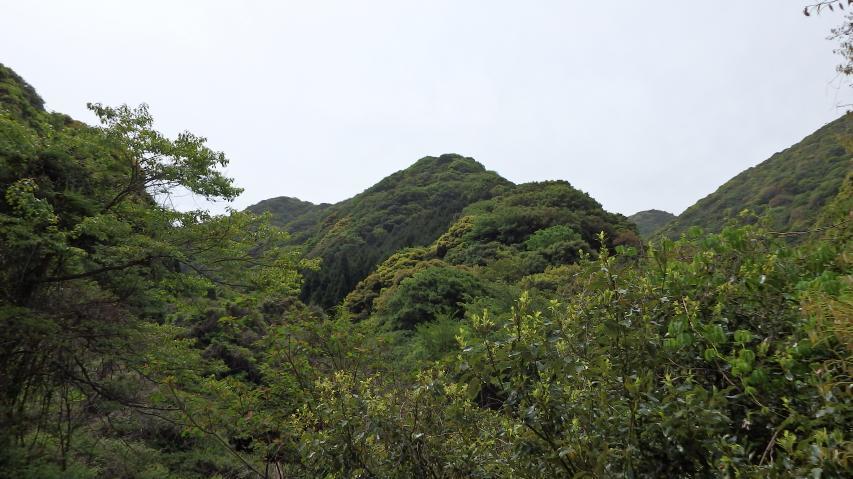 シャクナゲ自生の山