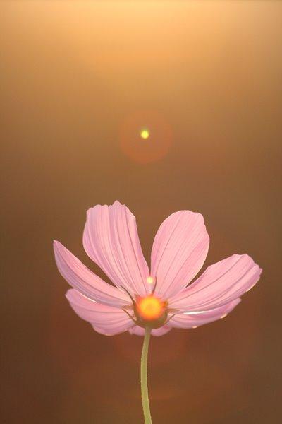 2008-10-17 万博自然文化園 057 妖精の時間‥と‥空間。 コスモス (センセーション) その3 400×600
