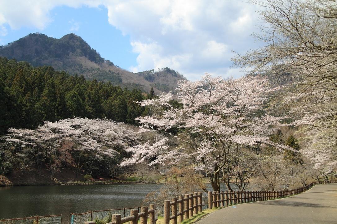 森林公園の桜②