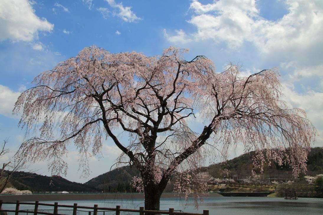 森林公園の桜③