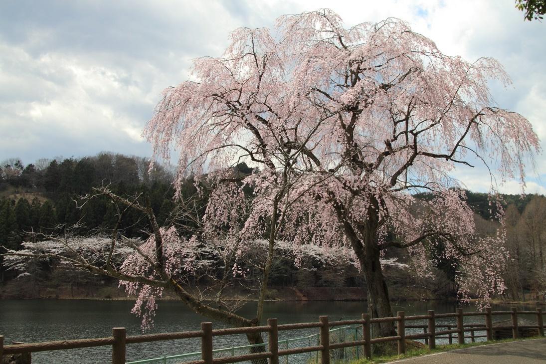 森林公園の桜⑤