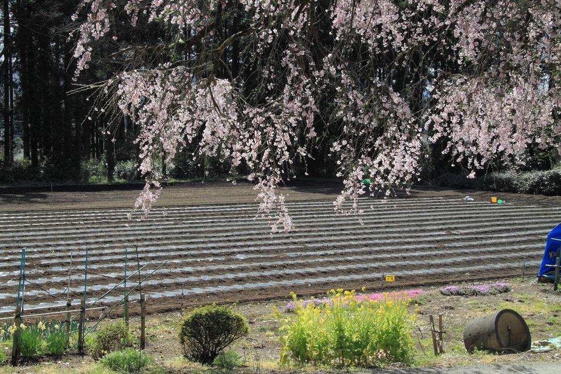 道路ぎわの枝垂桜②