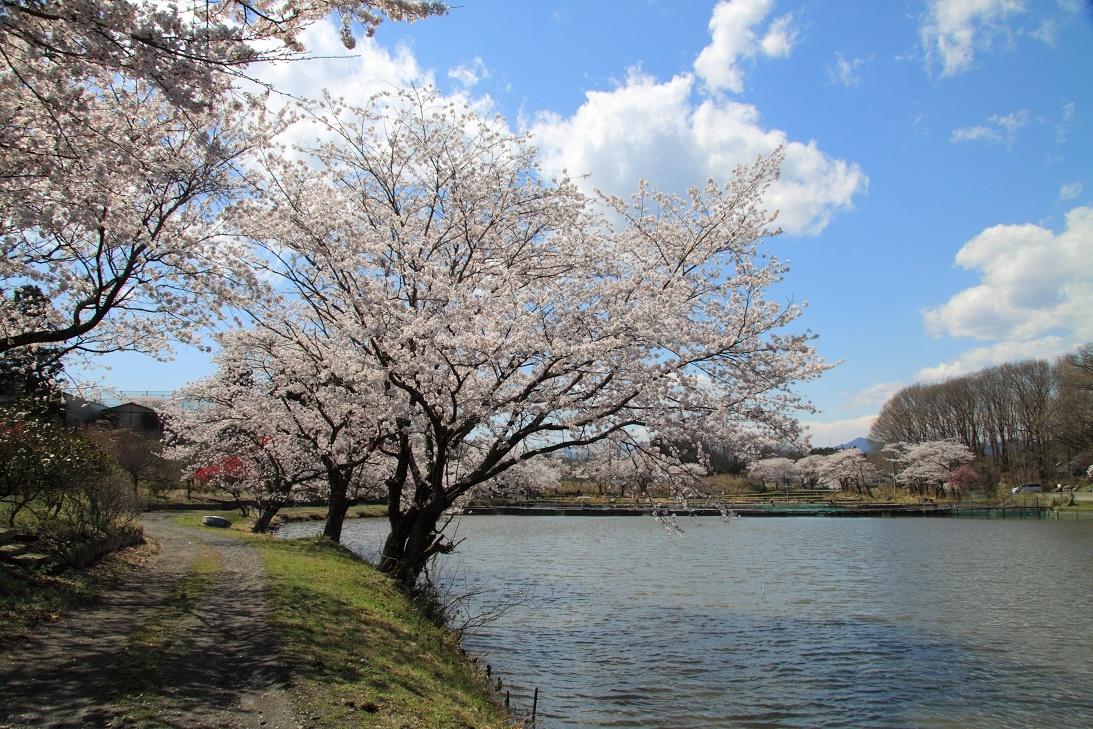 鹿沼錦鯉公園の桜②