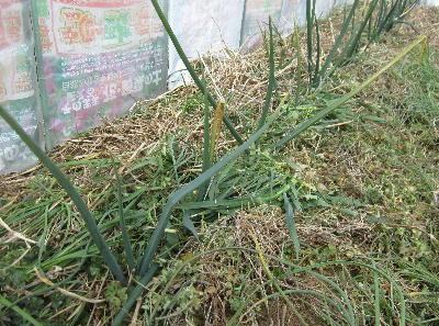 玉ネギ除草 (2)