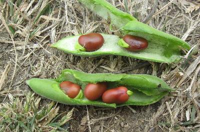 赤空豆 (3)