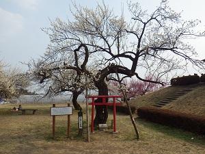 箕郷梅林2