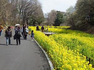 谷戸の菜の花畑
