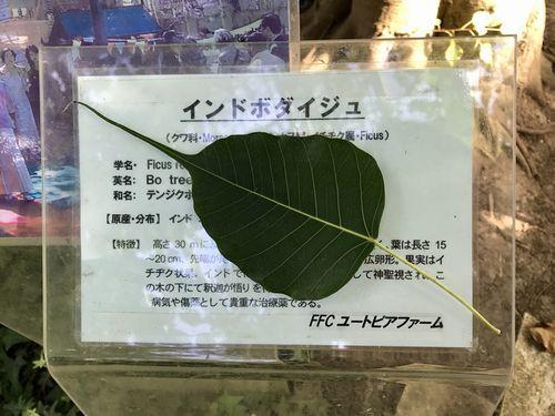 2,8赤塚植物園-14インドボダイジュ