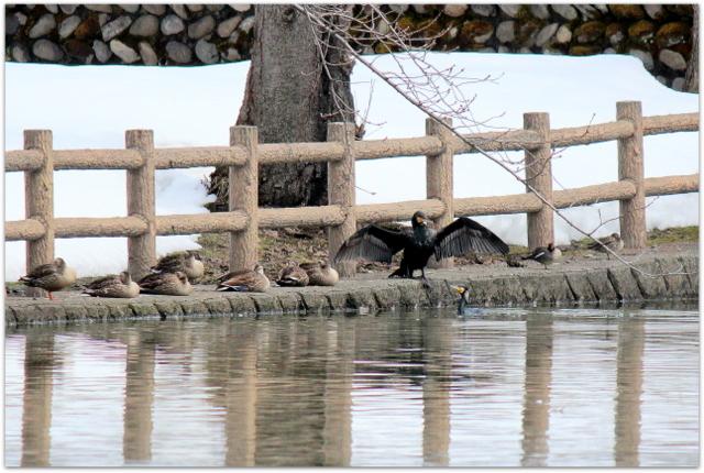 青森県 平川市 猿賀神社 猿賀公園 野鳥 バードウォッチング 鳥 写真 鵜