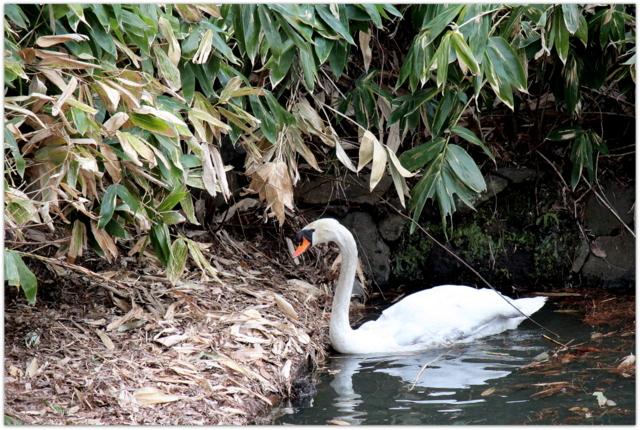 青森県 弘前市 弘前城 弘前公園 コブハクチョウ 鳥 写真 観光