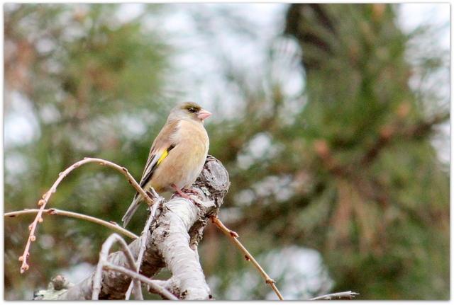 青森県 弘前市 弘前城 弘前公園 カワラヒワ 野鳥 鳥 写真 観光