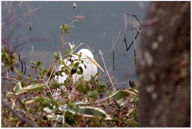 青森県 弘前市 弘前城 弘前公園 ダイサギ 野鳥 鳥 写真 観光