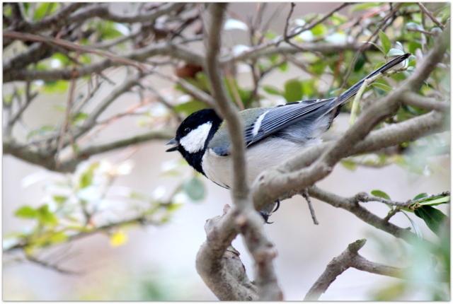 青森県 弘前市 弘前城 弘前公園 シジュウカラ 野鳥 鳥 写真 観光