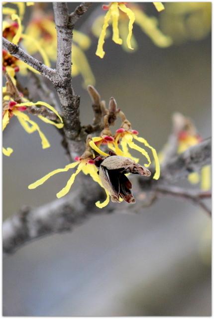 青森県 弘前市 弘前城 弘前公園 花 まるばまんさく 写真 観光