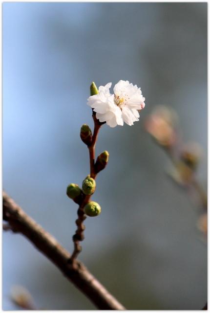 青森県 弘前市 弘前公園 弘前城 観光 写真 子福桜