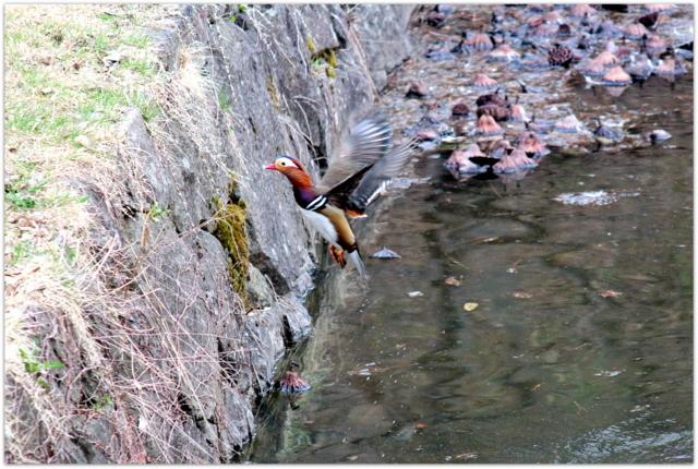 青森県 弘前市 弘前公園 弘前城 弘前城植物園 花 写真 観光 野鳥 鳥 オシドリ