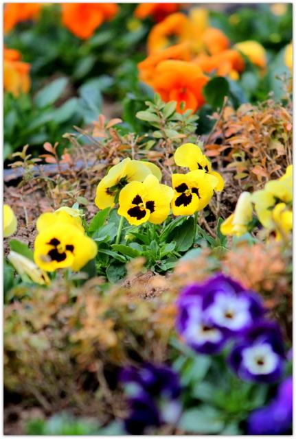 青森県 弘前市 弘前公園 弘前城 弘前城植物園 写真 観光 花 パンジー