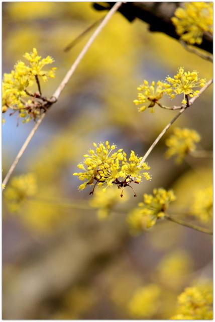 青森県 弘前市 弘前公園 弘前城 弘前城植物園 写真 観光 花 サンシュユ