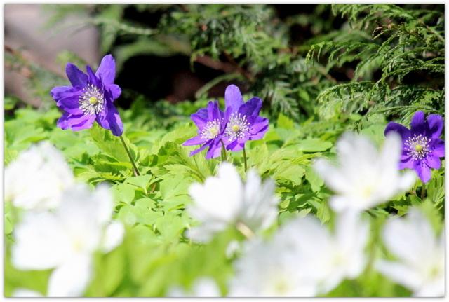 青森県 弘前市 弘前公園 さくらまつり 弘前城植物園 観光 写真 キクザキイチゲ