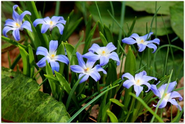 青森県 弘前市 弘前公園 さくらまつり 弘前城植物園 観光 写真 チオノドクサ