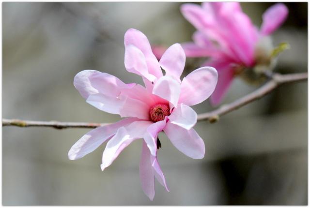 青森県 弘前市 弘前公園 さくらまつり 弘前城植物園 観光 写真 コブシ