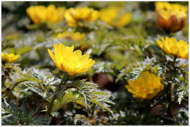青森県 弘前市 弘前公園 さくらまつり 弘前城植物園 観光 写真 福寿草