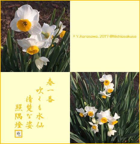 170219日本水仙原種
