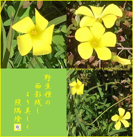 170223オキザリス黄色