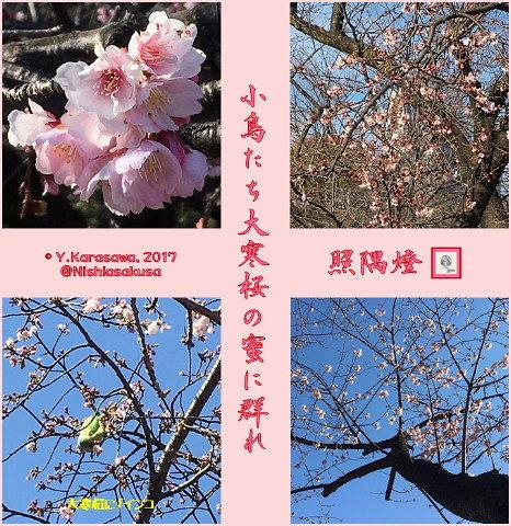 170303大寒桜