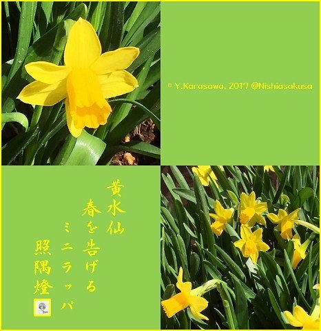170302黄水仙