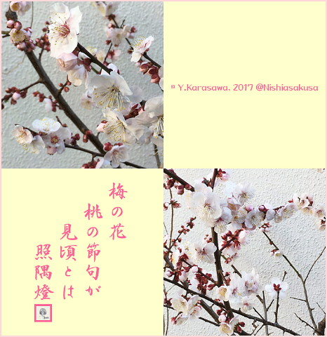 170305薄桃色の梅の花