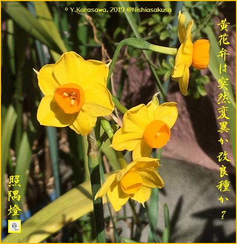 170310日本水仙黄色