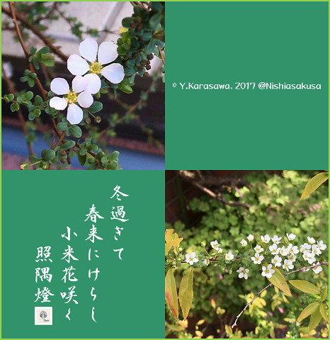 170313小米花