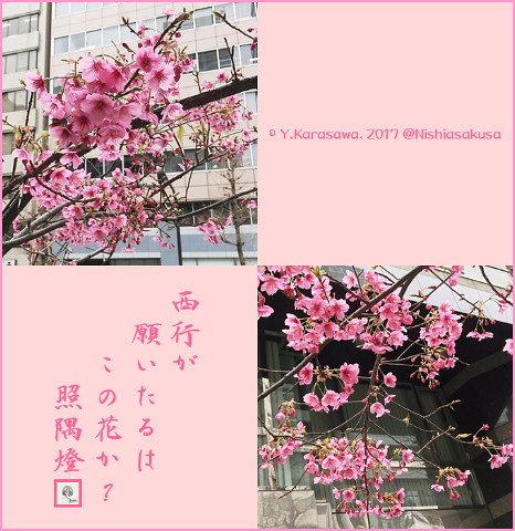 170320紅彼岸桜?
