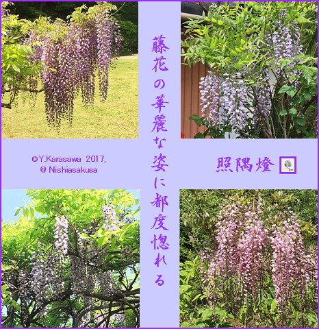170507藤の花