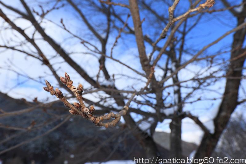 ムネアカアワフキの巣