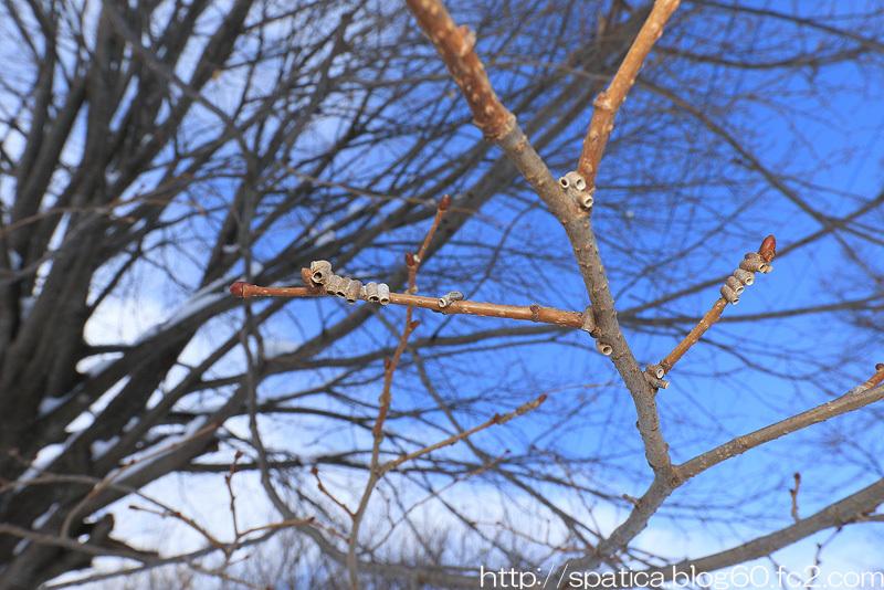 タケウチトゲアワフキの巣