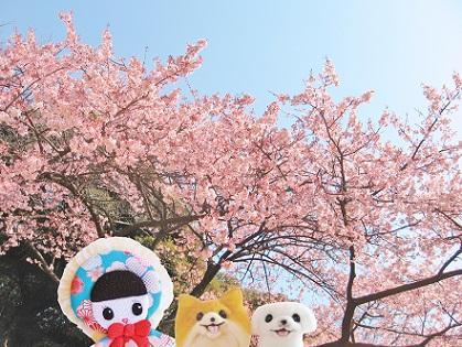 初めての寒桜です