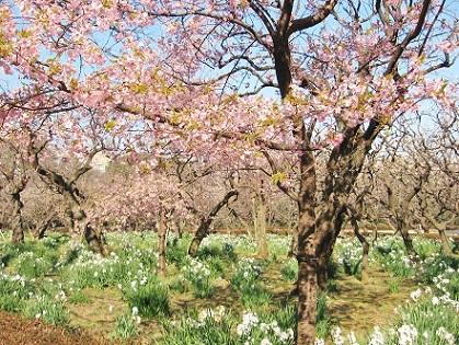 寒桜と水仙です