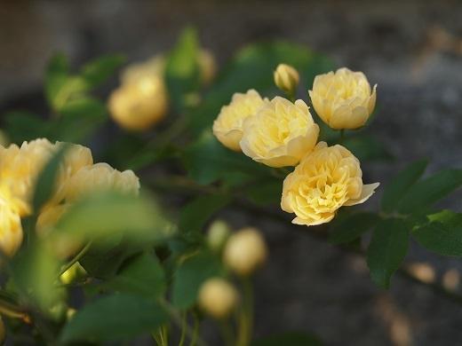 黄モッコウ1