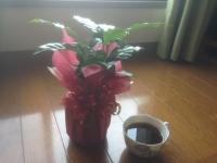 コーヒーの木1号