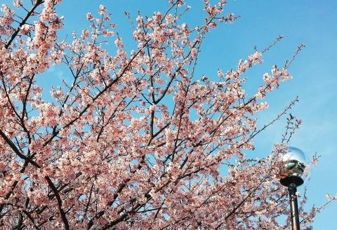 2017-03-12-桜(2)
