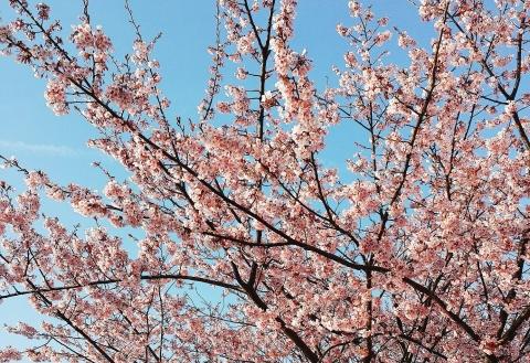 2017-03-12-桜(1)