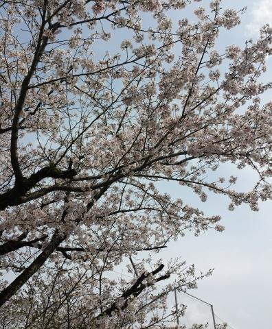 2017-04-09-JAバンク球場桜2 (2)